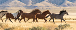 野生馬と共存するリノ!  about Virginia Range wild horses
